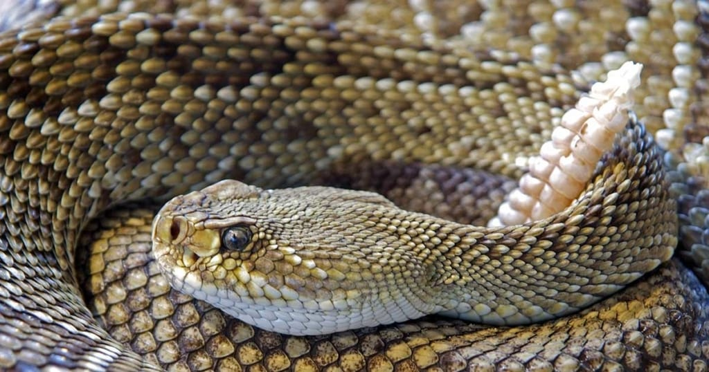 Urgent Specialists Article on Rattlesnake Bites
